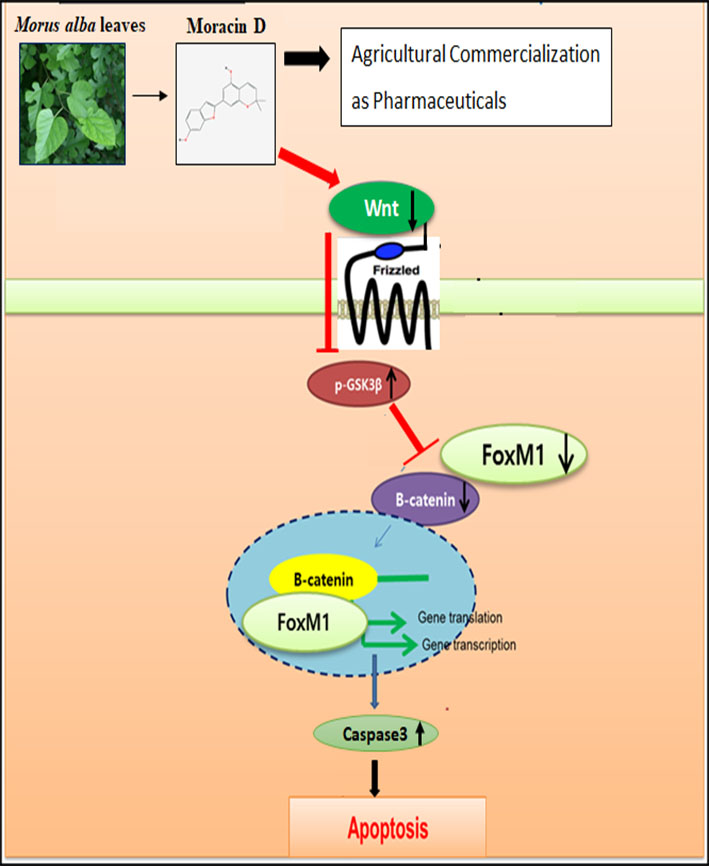 Inhibition Of Wnt3a/FOXM1/β-Catenin Axis And Activation Of