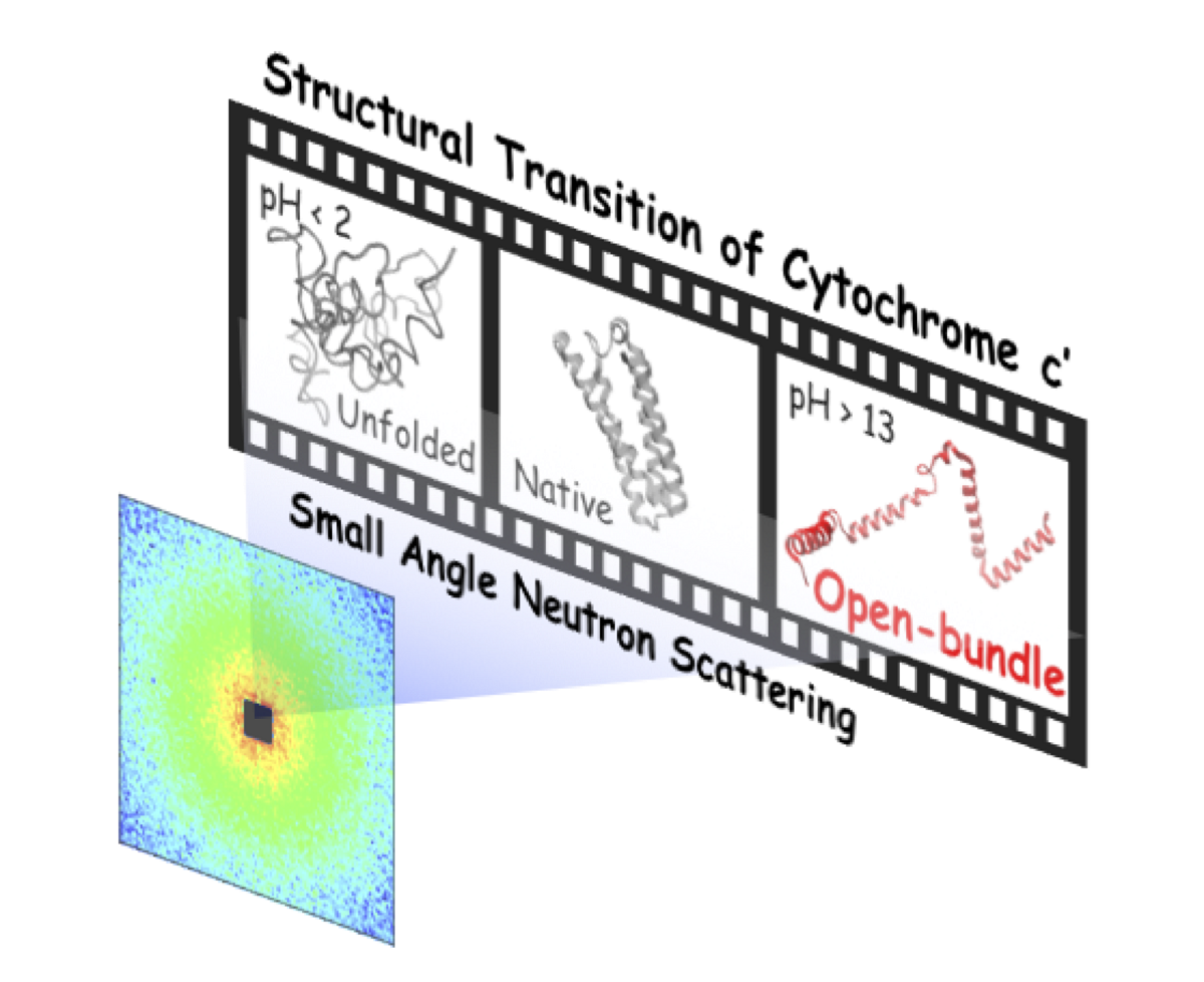 Open Bundle Structure As The Unfolding Intermediate Of Cytochrome C Revealed By Small Angle Neutron Scattering V1 Preprints